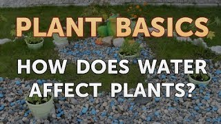 How Does Water Affect Plants?