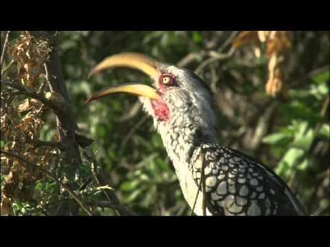 The wonderful variety of birds on Mashatu Game Reserve. Filmed by Aquavision TV at Mashatu Game Reserve, Botswana.