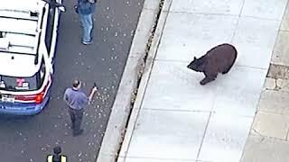 Large black bear roams streets of Monrovia California   ABC News
