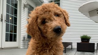 Goldendoodle Puppys First Day Home!