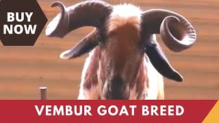 Vembur Goat - a goat breed from Tamilnadu