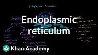 Endoplasmic reticulum and golgi apparatus | Cells | MCAT | Khan Academy