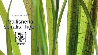 Vallisneria spiralis Tiger