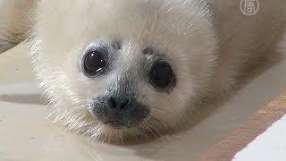 Маленький тюлень радует жителей Токио (новости)
