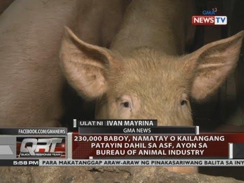[GMA]  QRT: 230,000 baboy, namatay o kailangang patayin dahil sa ASF, ayon sa Bureau of Animal Industry