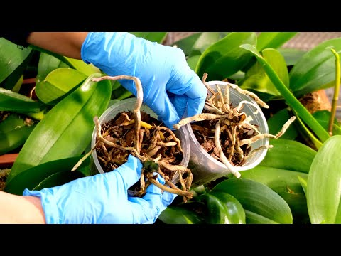 , title : 'Dying orchids! Reviving very sick orchids.