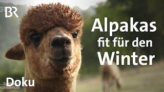 Alpakas fit für den Winter machen: Pflege, Futter und Quartier | Tiere | BR