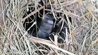 Jeremya's Babys - Jetzt sind es unverkennbar Kaninchen! ❤️