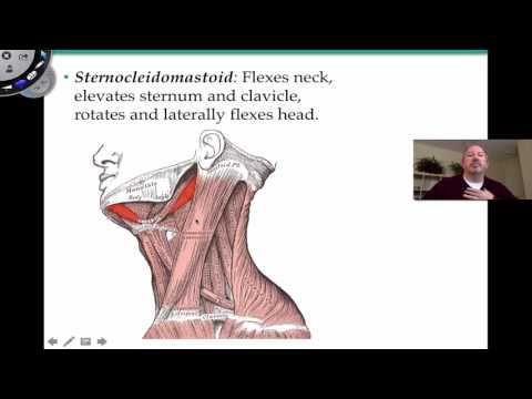 Quels exercices resserrent le muscle pectoral