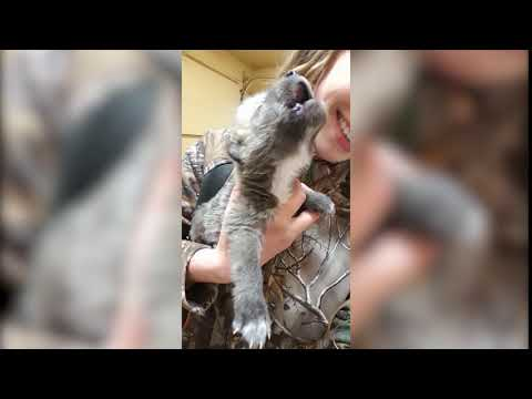 Wolf Pup Howls for the first time.