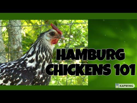 , title : 'Hamburg Chickens 101