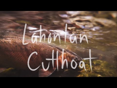Hundreds of Lahontan Cutthroat in tiny creek