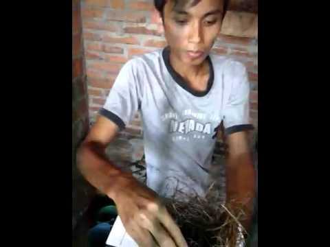 Video Cara Beternak Murai Batu Sangat Mudah