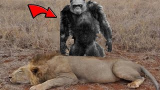 The Bili Apes Are Lion Killers