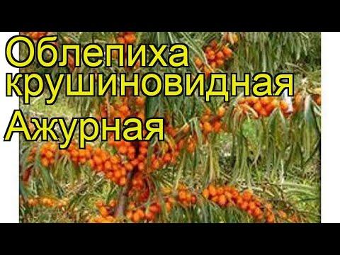 Облепиха крушиновидная Ажурная. Краткий обзор, описание характеристик нippophae rhamnoides Azhurnaia