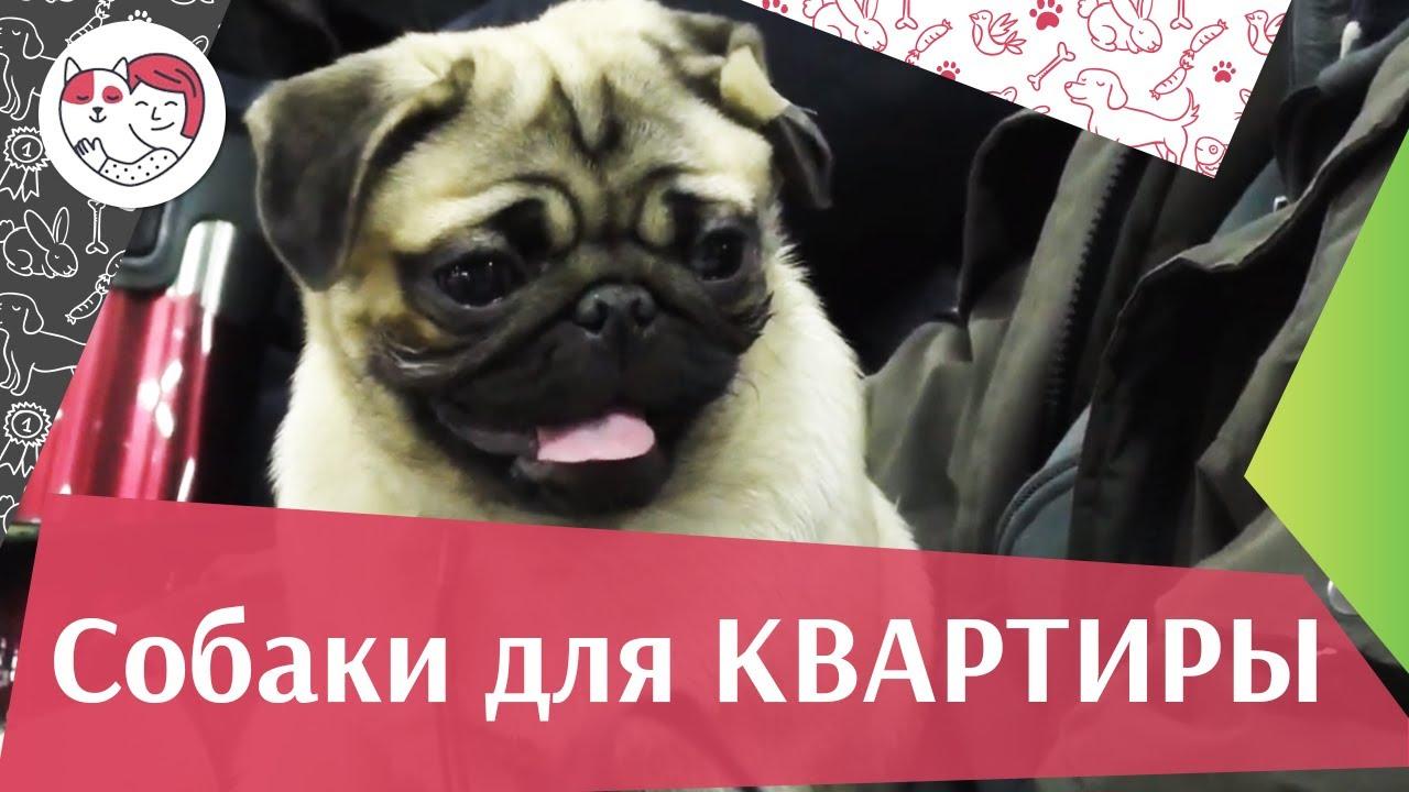 5 пород собак, идеально подходящих для содержания в городской квартире на ilikepet