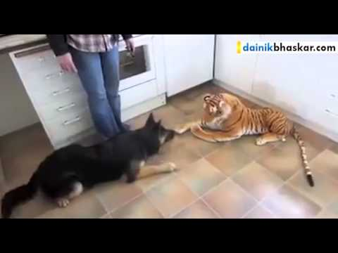 Dog Afraid Of Stuffed Toy Tiger || Funny Video