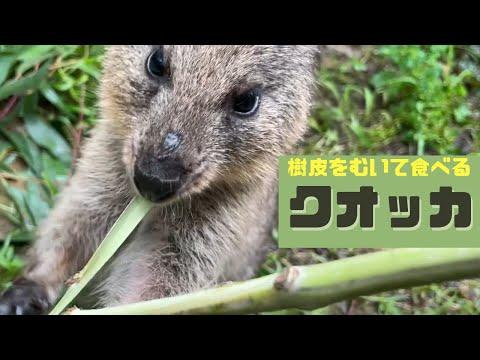 樹皮をむいて食べるクオッカ (埼玉県こども動物自然公園 公式/SaitamaChildrensZoo official )