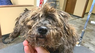 EXTREMELY MATTED SCHNAUZER | FULL SHAVE DOWN