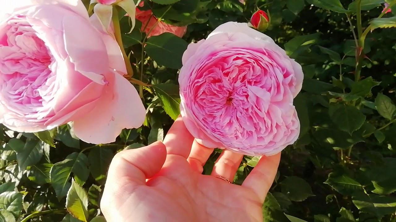 Как вырастить розу?