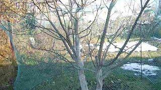 Защита яблони от зайцев зимой видео
