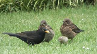 Male (father) blackbird feeds two female fledglings at the same time!