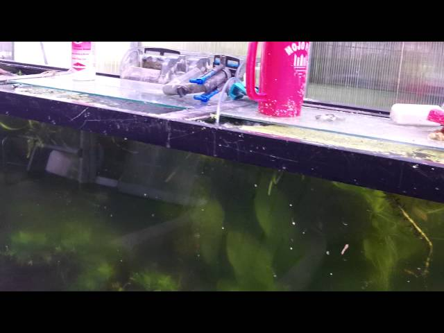 How to keep wild caught fish: Festivums and Severums from Peru in my Greenhouse