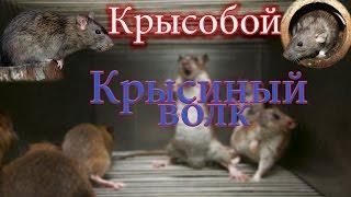 Крысиный волк