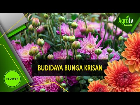 Video AgronewsTV BUDIDAYA BUNGA KRISAN