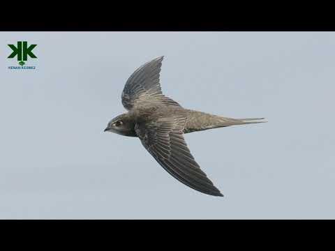 Yere hiç inmeyen, uçarken uyuyabilen kuş: Ebabil