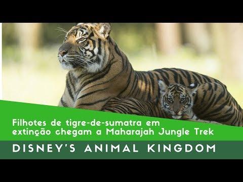 Filhotes de tigre-de-sumatra em extinção chegam a Maharajah Jungle Trek