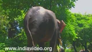 Elephant Bathing at Punnathoorkotta