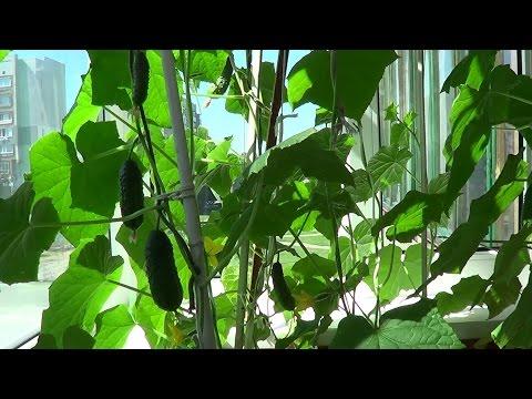 Огурцы на балконе. От семян до плодов.