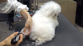 Dog Pet Baby Bichon Frise First Bath&Grooming
