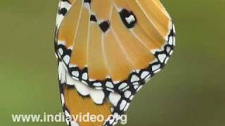 Plain Tiger or Danaus chrysippus