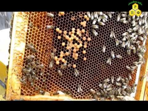 Пчеловодство. Две матки после зимоки в улье.