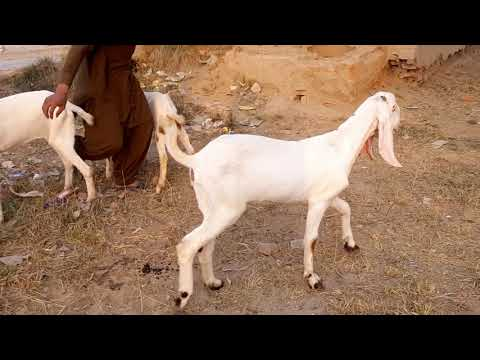 blackbuck Re for sale black bakriyon goat farming Ka Tarika