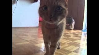 Кот. Мяукает. Селфи. )))