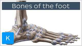 Bones of the foot: tarsals, metatarsals and phalanges (preview)- Human Anatomy | Kenhub