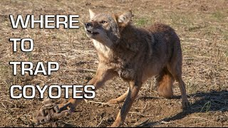 How to Catch Coyotes | Where to Trap