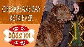 Dogs 101 - CHESAPEAKE BAY RETRIEVER - Top Dog Facts About the CHESAPEAKE BAY RETRIEVER