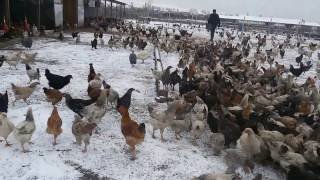 Птицеферма Новая Мака  Дагестан