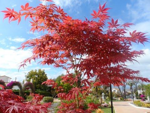 Весенний вальс, каллистемон, Acer palmatum, гвоздика садовая, jardin oriental, 10/04/2016