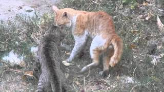 Deadly fight between cats