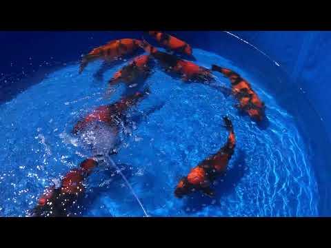第6回国際錦鯉幼魚品評会 緋写り