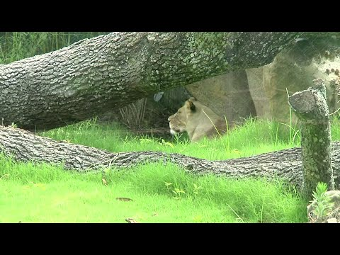 A new exhibit of African lions is opening at the Audubon Zoo in New Orleans. Visitors will have an opportunity to see critically endangered lions. (May 17)