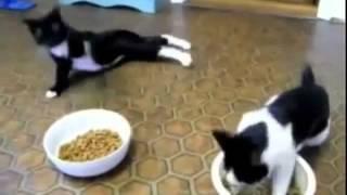 Пьяные коты. Веселый видеоролик