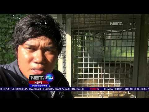 Keadaan Terkini Harimau Sumatra Yang Terjebak Di Lorong Ruko- NET 24