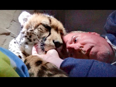 Night 3: Sleeping Inside A Cheetah Enclosure With Two Adult Big Cats - Cat Sucks Thumb Chews Ear