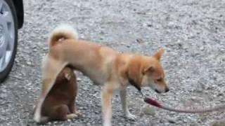 生後47日の柴犬の仔犬カイ:おっぱいを飲む